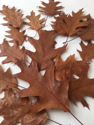 40 oak leaves real red oak leaves pressed natural dried fall leaf floral botanical  wedding confetti scrap booking wedding cards decoration