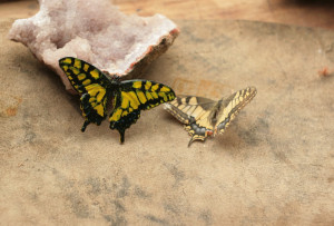 Butterfly brooch, real Machaon natural colors, electroformed metal insect, electroforming,colorful butterfly pendant,electroplated moth,